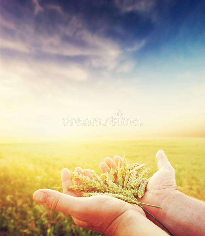 Fresh green cereal, grain in farmer's hands. Agriculture, harvest. Concept. Wheat, rye field stock photo
