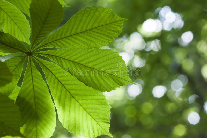 Fresh green chestnut tree leaf blurred background shallow dapth stock photos