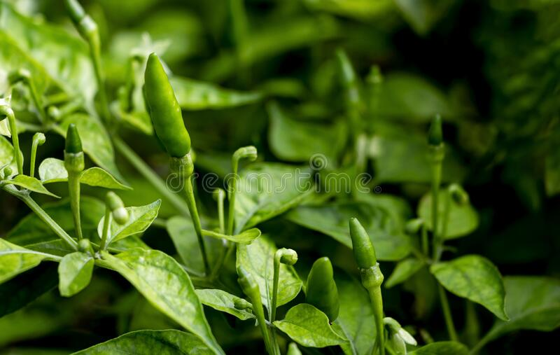 Fresh green chile are spicy seasonings to taste.  stock photos