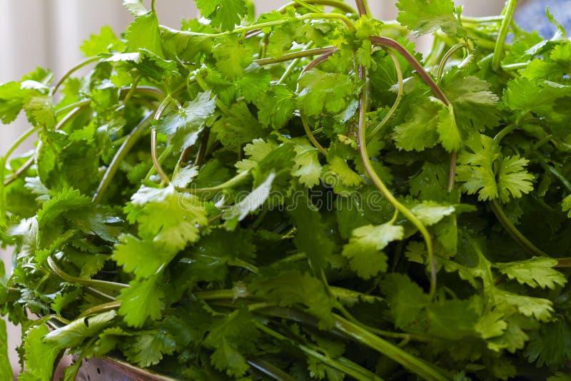 Fresh green cilantro, coriander leaves royalty free stock photos