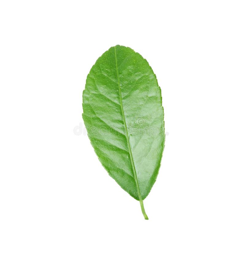 Fresh green citrus leaf. On white background stock photos