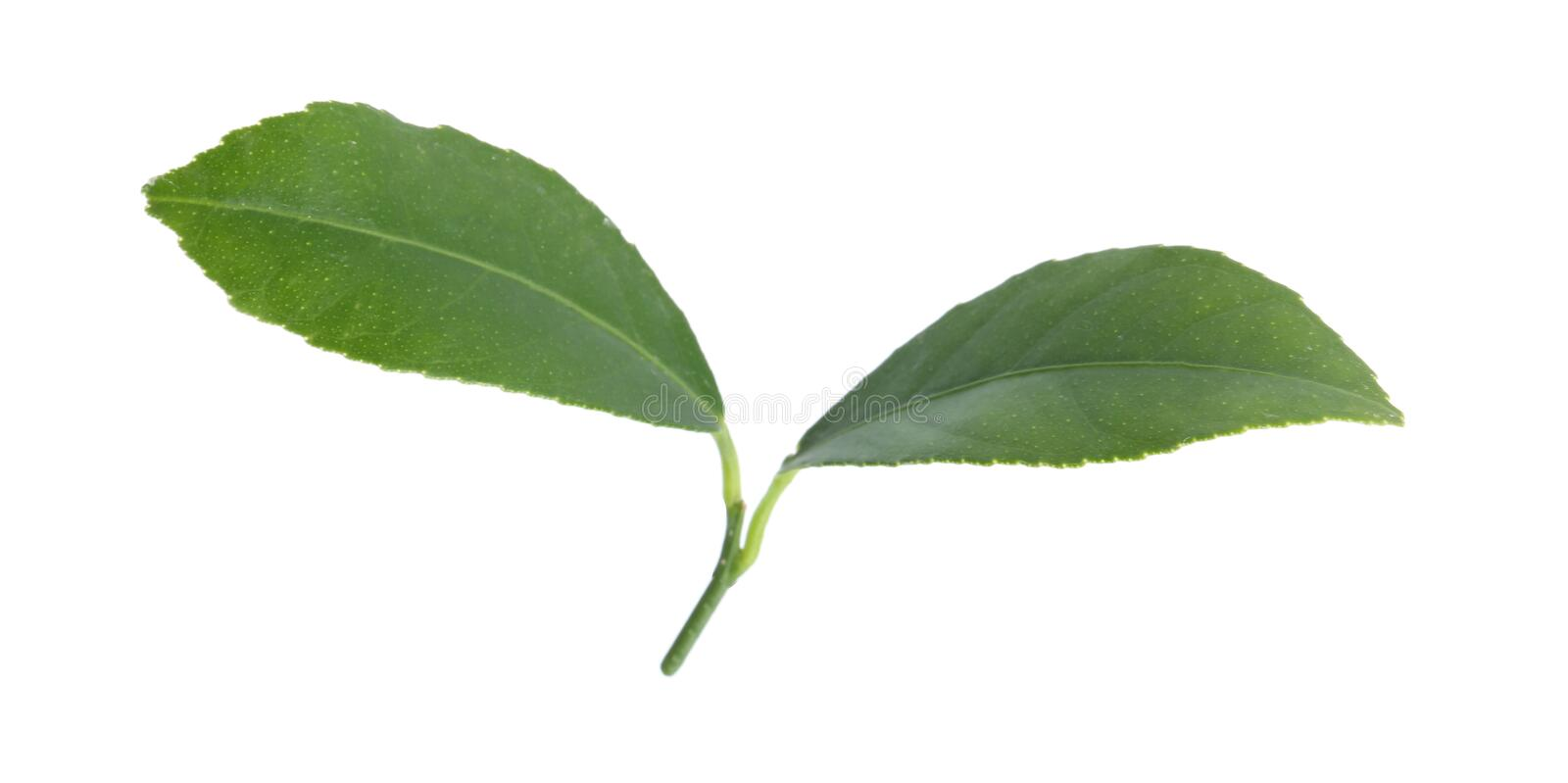 Fresh green citrus leaves. On white background royalty free stock images