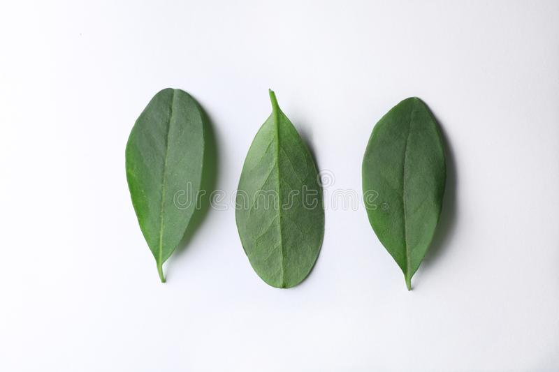Fresh green citrus leaves on white background. Top view stock photo