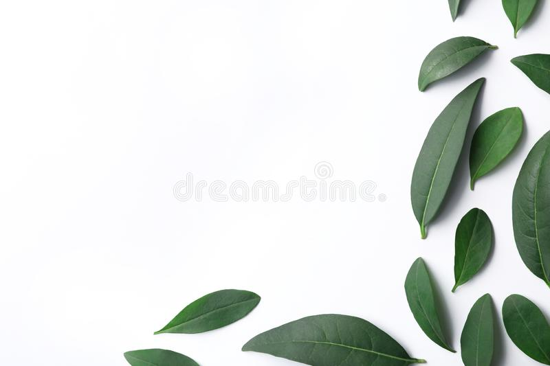 Fresh green citrus leaves on white background, top view. Space for text stock image