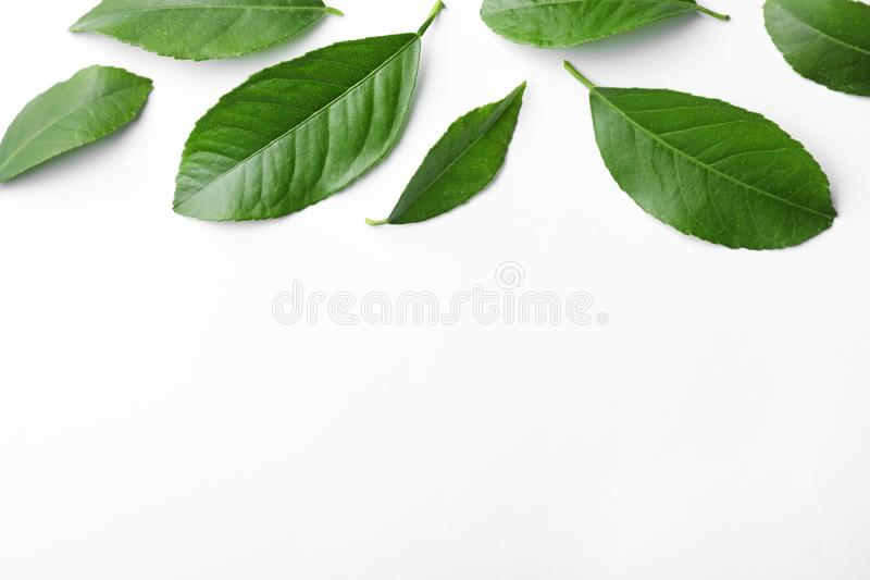 Fresh green citrus leaves on white background, top view. Space for text royalty free stock images