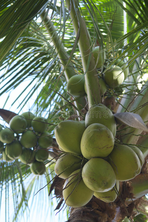 Download Fresh Green Coconut Palm Tree Close-Up Stock Photo - Image: 36398150