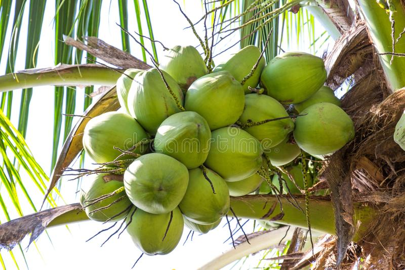 Fresh green coconut on a tree in my garden stock image