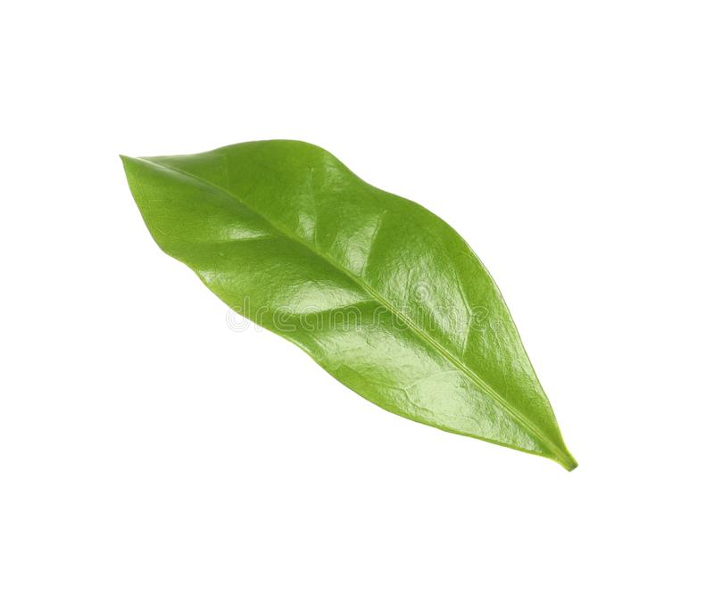 Fresh green coffee leaf isolated. On white stock photography