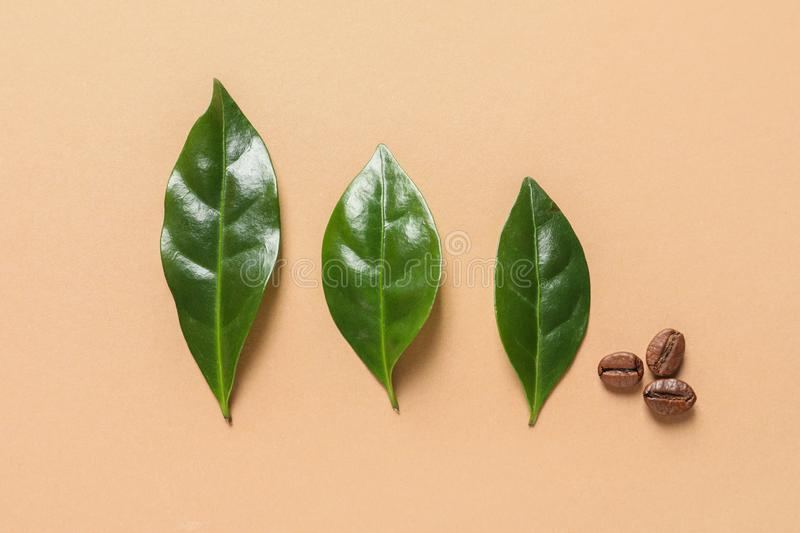 Fresh green coffee leaves beans on light orange background, flat lay. Fresh green coffee leaves and beans on light orange background, flat lay stock photo