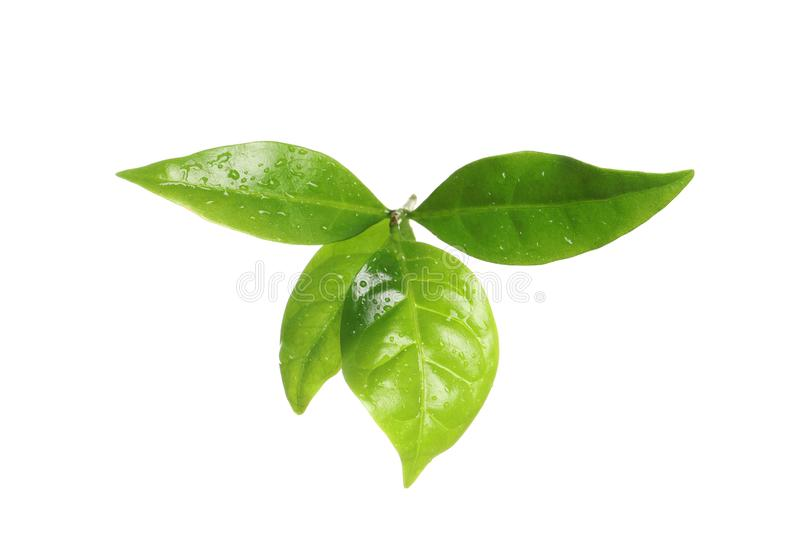 Fresh green coffee leaves isolated. On white stock image