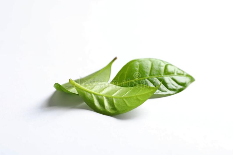 Fresh green coffee leaves isolated. On white royalty free stock images