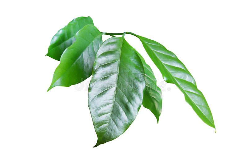 Fresh Green Coffee Leaves Isolated on White Background royalty free stock photography