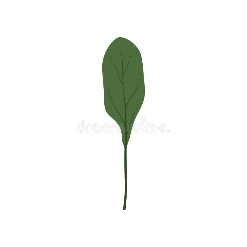Fresh green collards leaf, vegetarian healthy food, organic herb for cooking vector Illustration on a white background. Fresh green collards leaf, vegetarian stock illustration