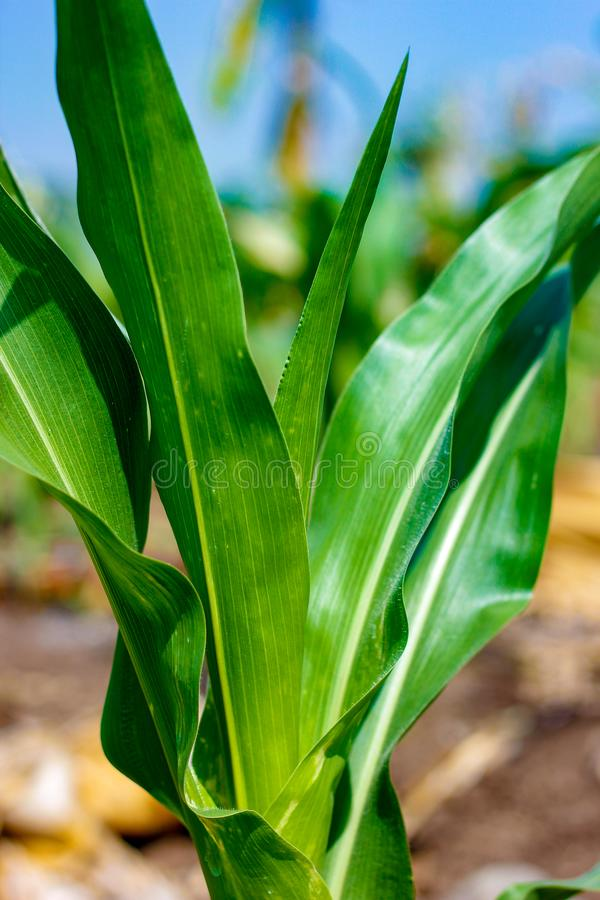 Fresh green Green Corn Field , indian farm , royalty free stock image
