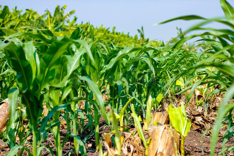 Fresh green Green Corn Field , indian farm , royalty free stock images