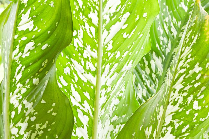 Dieffenbachia leaf in nature garden. Fresh green Dieffenbachia leaf in nature garden royalty free stock photos