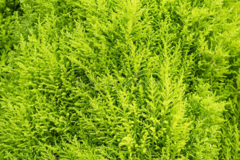 Fresh green fern leafs for nature background.Thailand. stock images