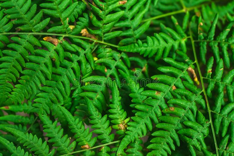 Fresh green fern leaves on blur background in the garden. Texture of fern leaves. stock image