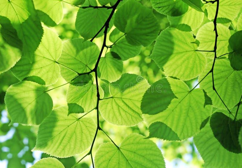 Fresh green foliage royalty free stock photos