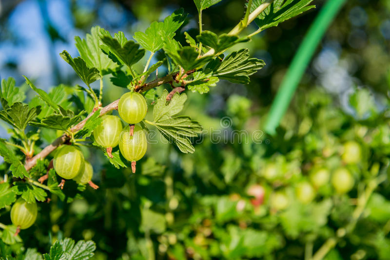 Fresh green gooseberries on a branch on sunlight day royalty free stock images