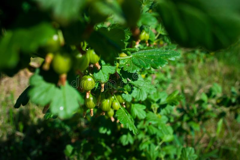 Fresh Green Gooseberries. Growing Organic Berries Closeup On A B. Ranch Of Gooseberry Bush. Ripe Gooseberry In The Fruit Garden stock photo