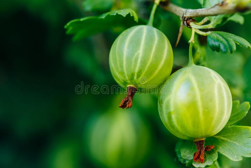 Fresh Green Gooseberries. Growing Organic Berries Closeup On A Branch stock image