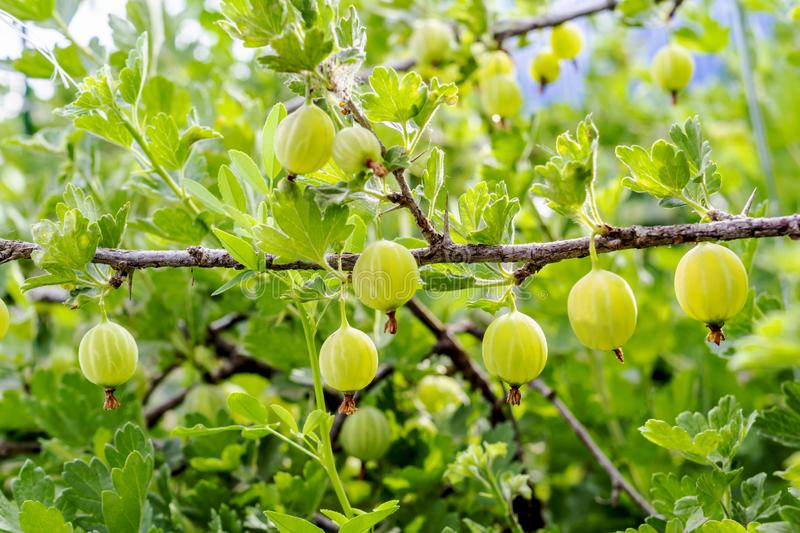 Fresh green gooseberries. Growing organic berries closeup on a branch of gooseberry. Ripe gooseberry in the fruit garden royalty free stock images