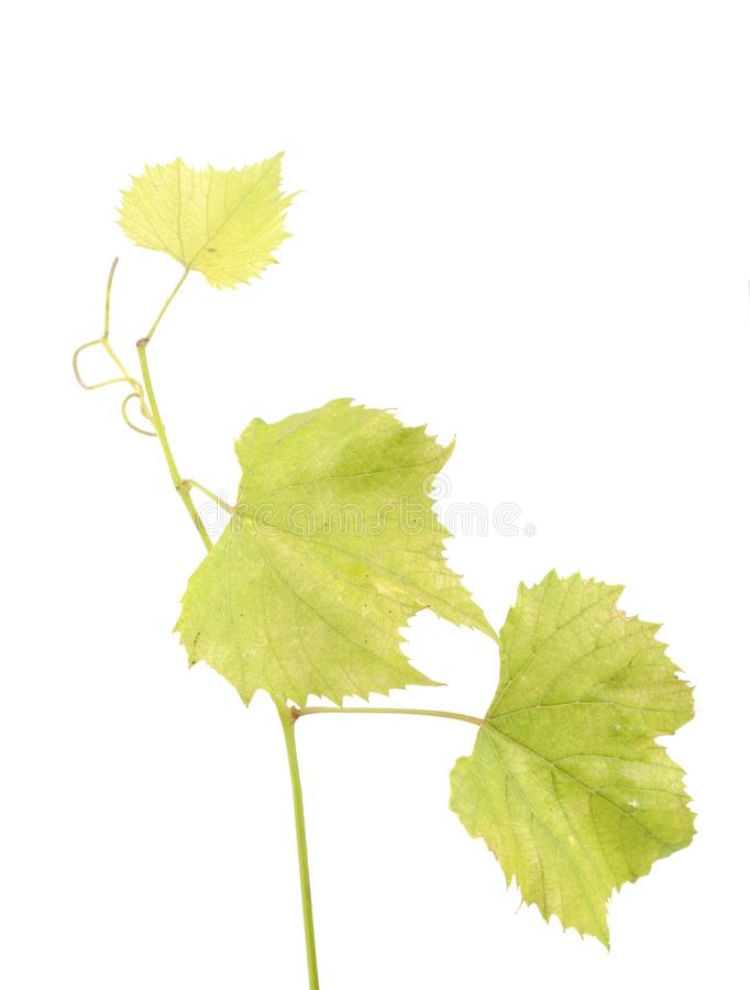 Fresh Green Grape Leaf on isolated white Background royalty free stock photo