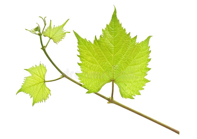 Fresh green grape leaf isolated on a white background royalty free stock photo
