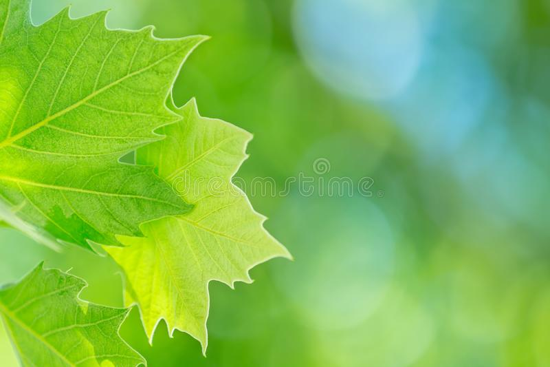 Fresh green grape leaf royalty free stock image