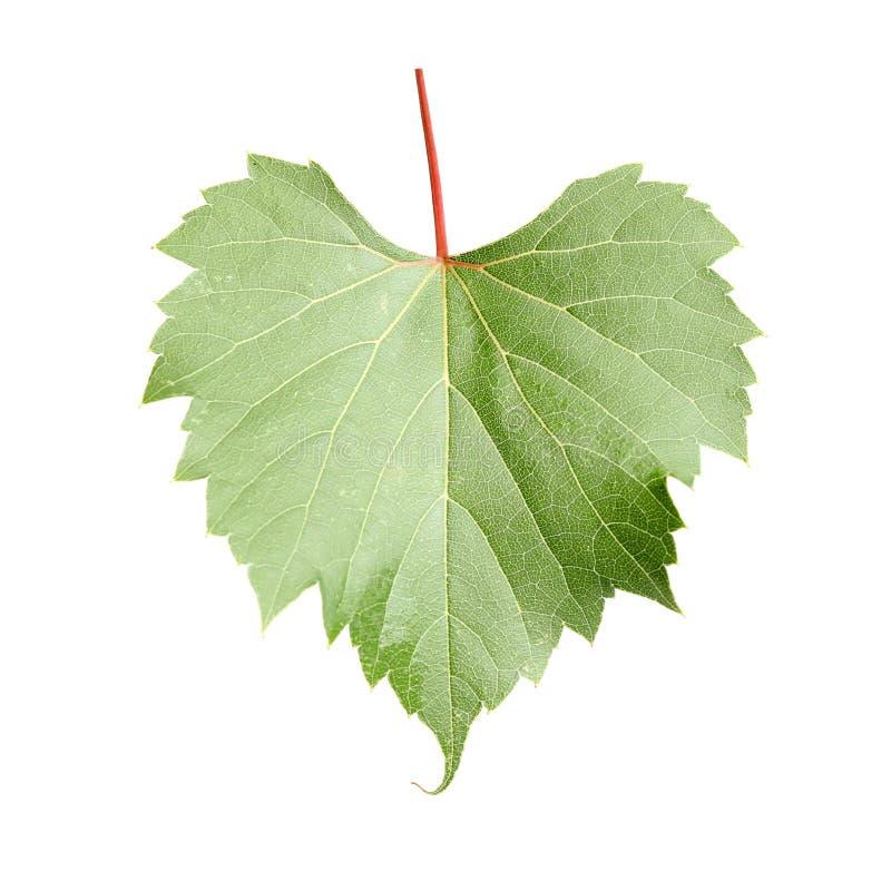 Fresh green grape leaf on white royalty free stock photos