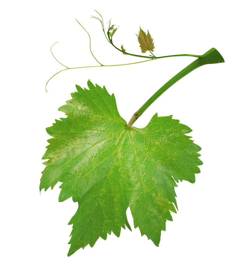 Fresh green grape leaves on branch with tendrils isolated on white background, path royalty free stock photography