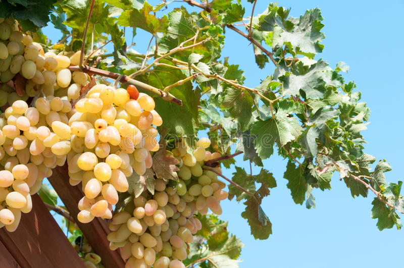 Download Fresh Green Grapes stock photo. Image of hanging, closeup - 35986216