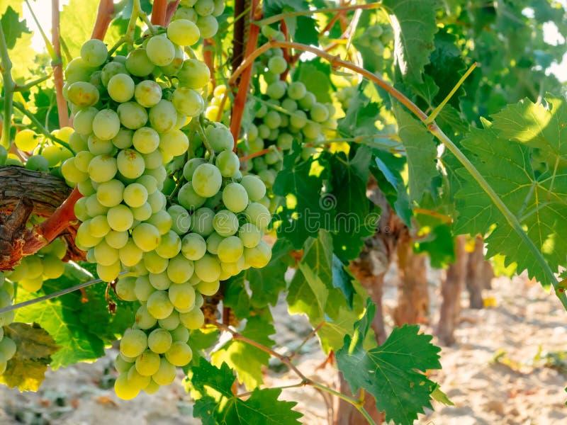 Fresh Green grapes on vine. Summer sun lights.  royalty free stock photo
