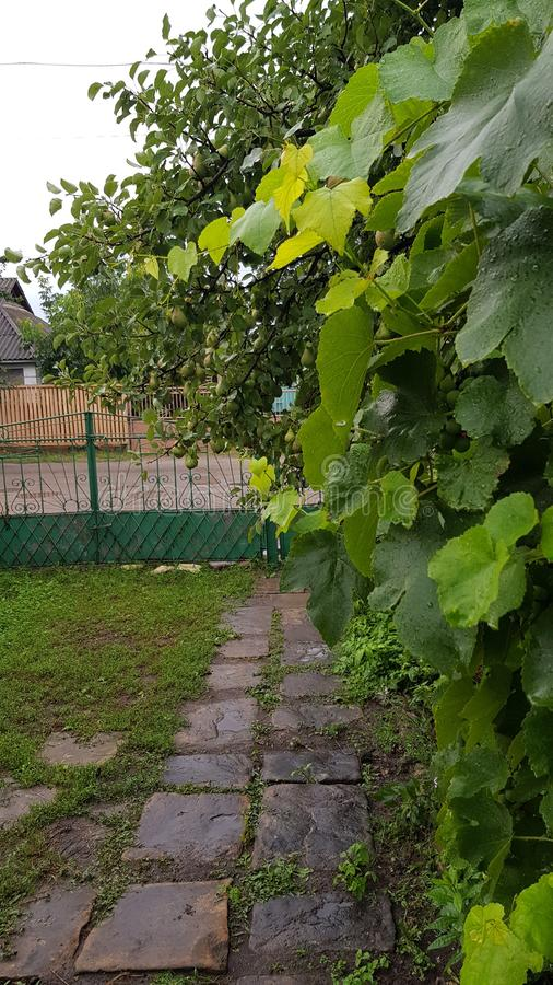 Fresh green grapevine hedge with wet grape leaves after rain. stock images