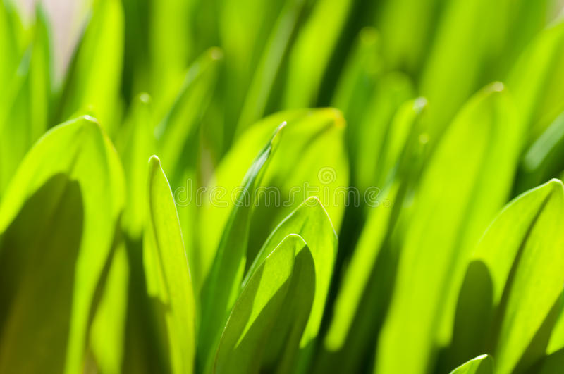 Download Fresh Green Grass Royalty Free Stock Photo - Image: 21505015