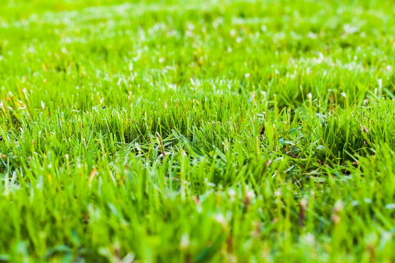 Fresh green grass background, close up. Photo with selective focus. Trimmed lawn in summer sunny day stock photos