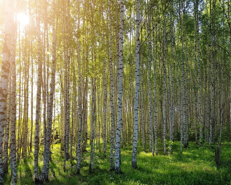 Fresh green grass and birch grove on summer. Spring scene in the birch woods. royalty free stock photo