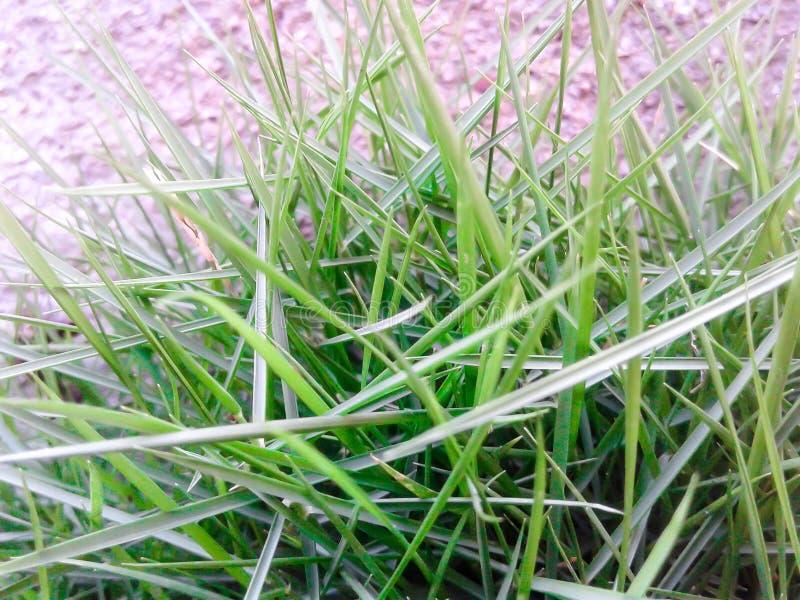 Grass Closeup Look Background Use. Fresh Green Grass Closeup Look Background Texture  Use Lawn Natural royalty free stock photos