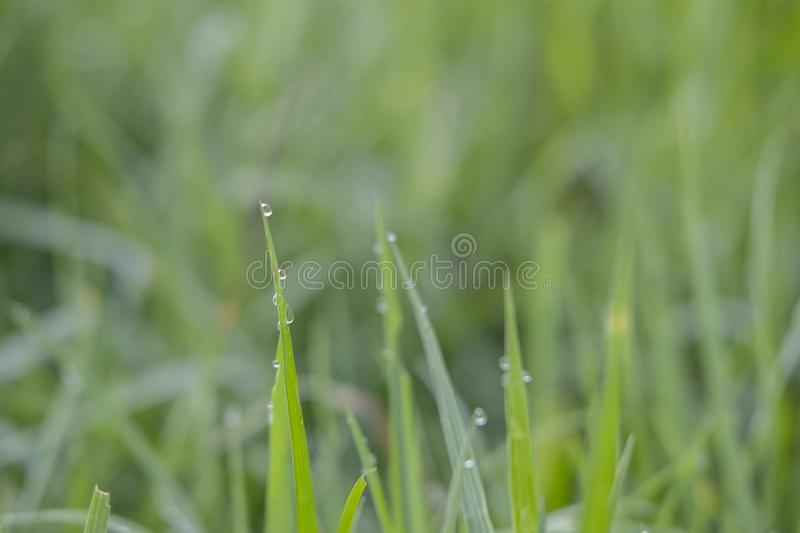 Fresh Green Rice Leaves from Sukoharjo stock photography