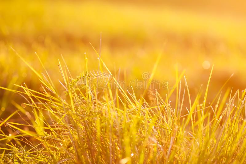 Fresh grass with dew drops in the sunset golden soft sunshine. Summer nature background. Fresh green grass with dew drops in the sunset golden soft sunshine royalty free stock image