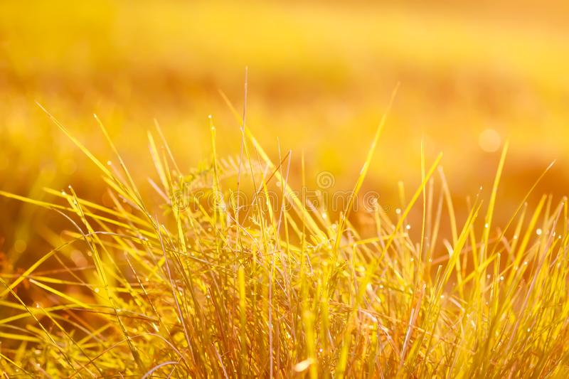 Fresh grass with dew drops in the sunset golden soft sunshine. Summer nature background. Fresh green grass with dew drops in the sunset golden soft sunshine stock photos