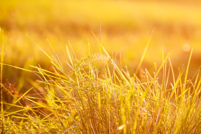 Fresh green grass with dew drops in the sunset golden soft sunshine. Summer nature background. Plant, environment, field, light, meadow, rural, scene, space stock images