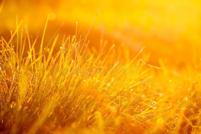 Fresh green grass with dew drops in the sunset golden soft sunshine. Summer nature background. Plant, environment, field, light, meadow, rural, scene, space stock image