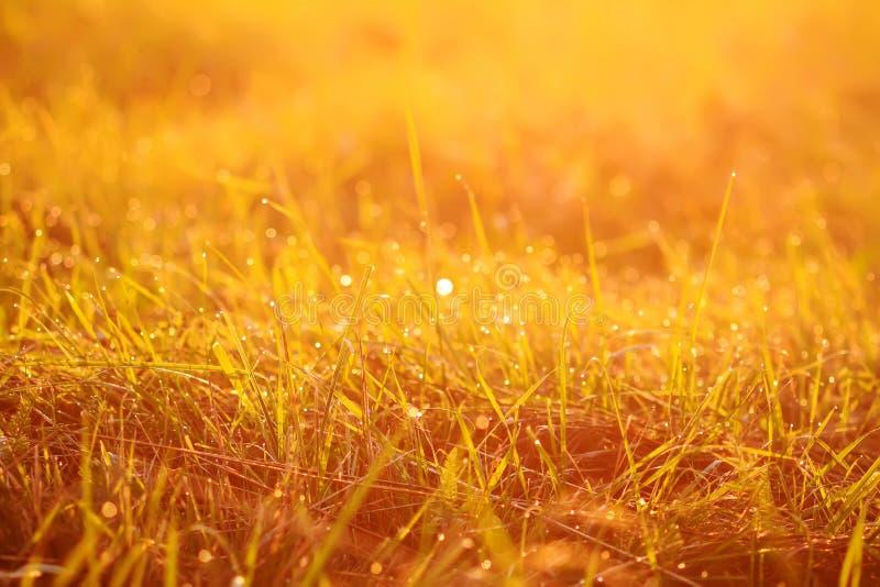 Fresh green grass with dew drops in sunset golden soft sunshine. Summer nature background. Fresh green grass with dew drops in the sunset golden soft sunshine stock photo