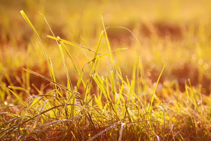 Fresh grass with dew drops in the sunset golden soft sunshine. Summer nature background. Fresh green grass with dew drops in the sunset golden soft sunshine royalty free stock photography