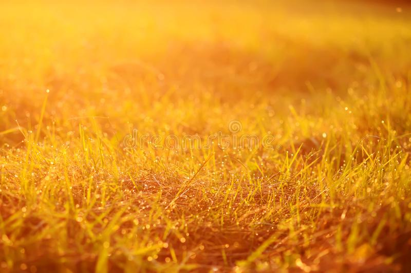Fresh green grass with dew drops in sunset golden soft sunshine. Summer nature background. Fresh green grass with dew drops in the sunset golden soft sunshine royalty free stock photos