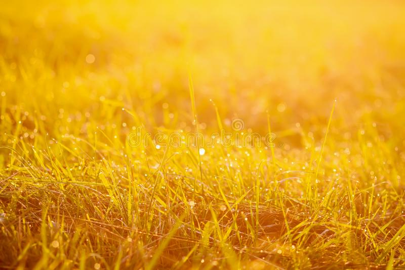Fresh green grass with dew drops in the sunset golden soft sunshine. Summer nature background. Plant, environment, field, light, meadow, rural, scene, space royalty free stock photos