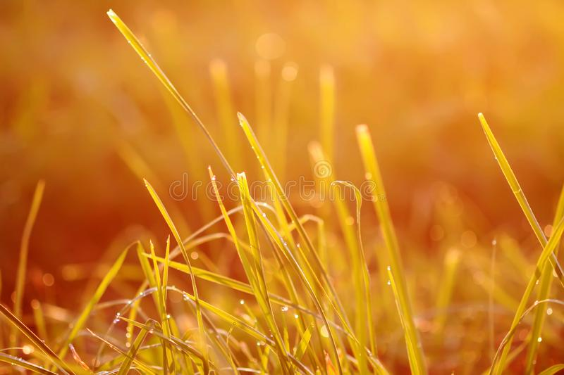 Fresh green grass with dew drops in sunset golden soft sunshine. Summer nature background. Fresh green grass with dew drops in the sunset golden soft sunshine royalty free stock photography