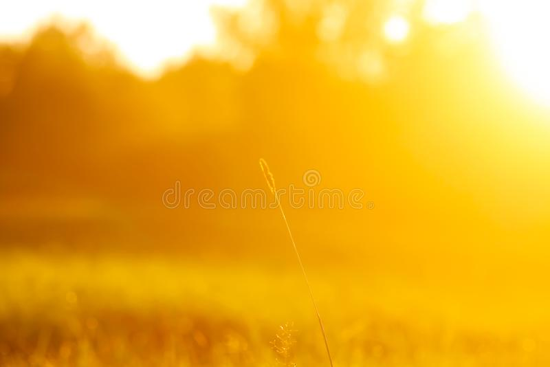 Fresh grass with dew drops in the sunset golden soft sunshine. Summer nature background. Fresh green grass with dew drops in the sunset golden soft sunshine stock photography